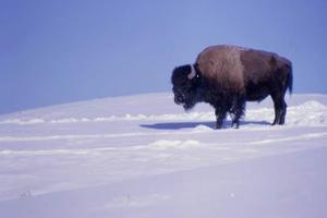 070130_bison_snow_02