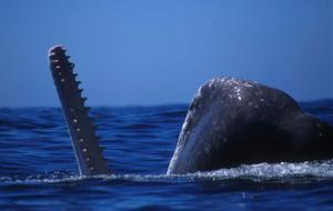 070312_sperm_whale_02