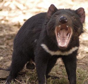 Tasmanian