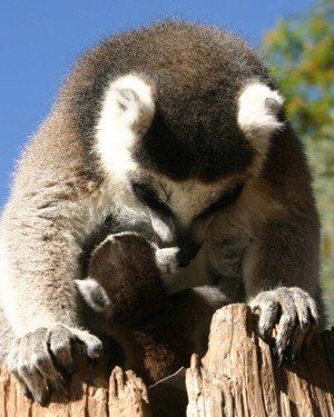 Baby_ringtail_6867sm