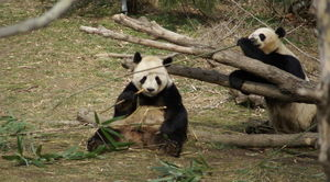 800pxpandas_eating_bamboo_washingto