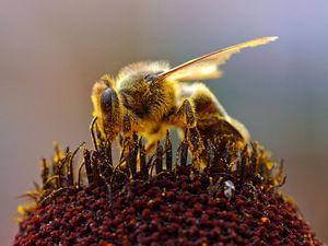 800pxbees_collecting_pollen_2004081