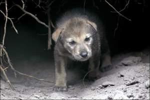 Redwolfpup