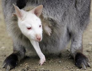 Albinowallaby