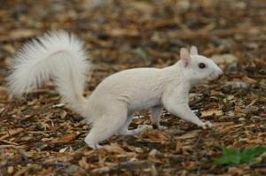 Whitesquirrel_2