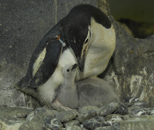 _jlm9519_chinstrap_penguin_chick__2