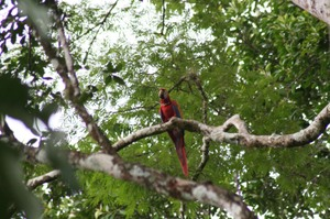 Scarletmacaw_with_satelliteunit_gua