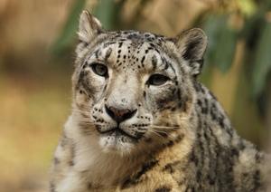 _jlm1396_snowleopard