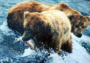 800px2_bears_and_salmon