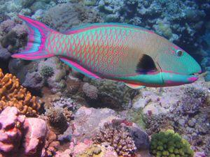 Parrotfish_2