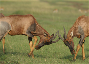 _44267923_deer_femalefight_416_2