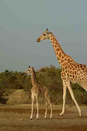pictures of giraffes in africa.  of giraffe in Africa, whereas the existing taxonomy recognizes only one.