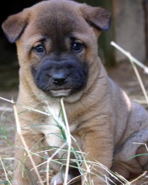 Singing_dog_pup_9810