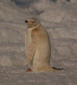 Whitepenguin