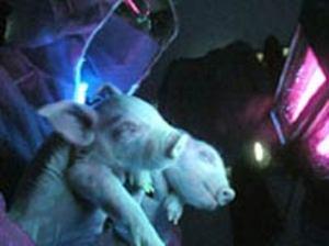 Pig36306