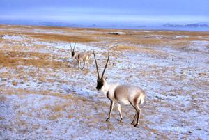 Tibetan_antelope_or_1739e2