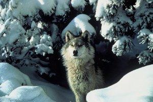 Wolf3