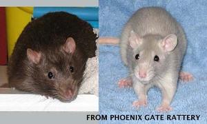 Rats_1
